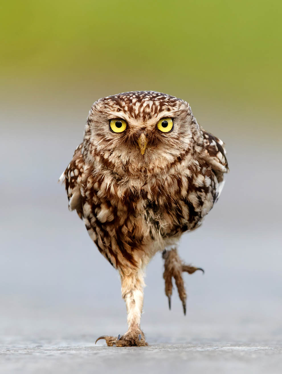 Marching Owls
